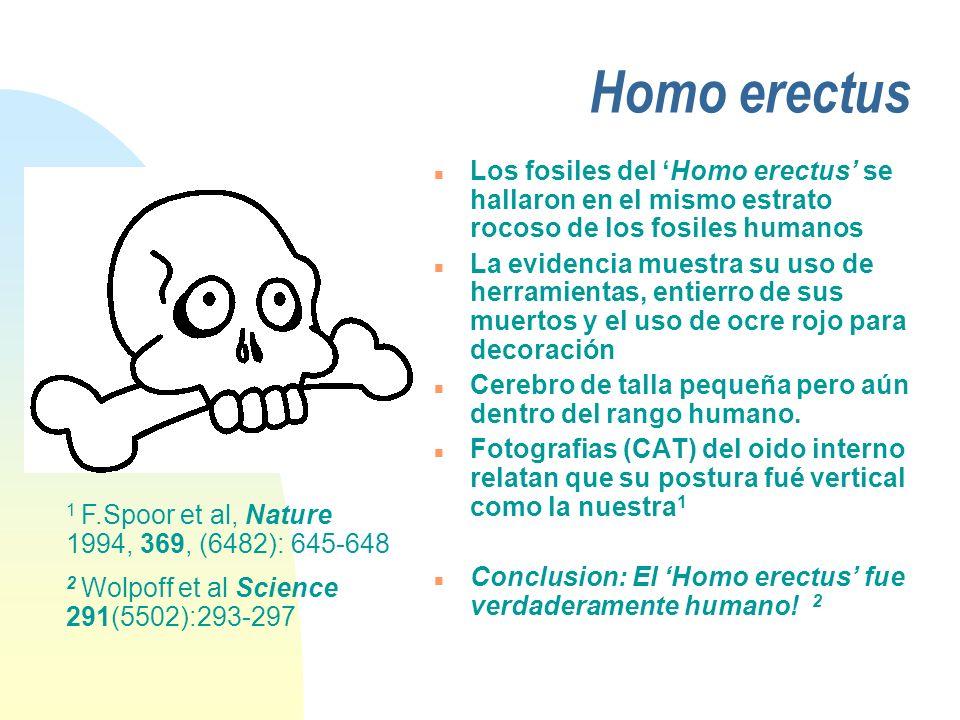 Homo erectus n Los fosiles del Homo erectus se hallaron en el mismo estrato rocoso de los fosiles humanos n La evidencia muestra su uso de herramienta