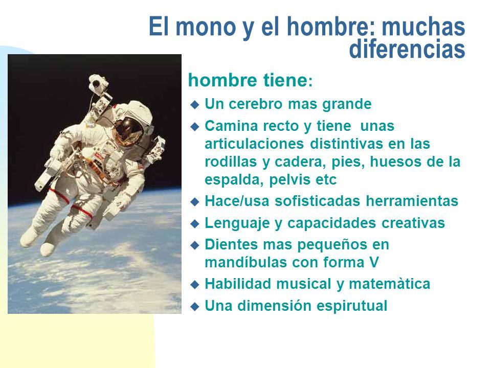El mono y el hombre: muchas diferencias El hombre tiene : u Un cerebro mas grande u Camina recto y tiene unas articulaciones distintivas en las rodill