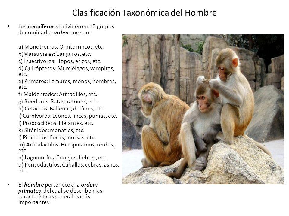 Clasificación Taxonómica del Hombre Los mamíferos se dividen en 15 grupos denominados orden que son: a) Monotremas: Ornitorrincos, etc.