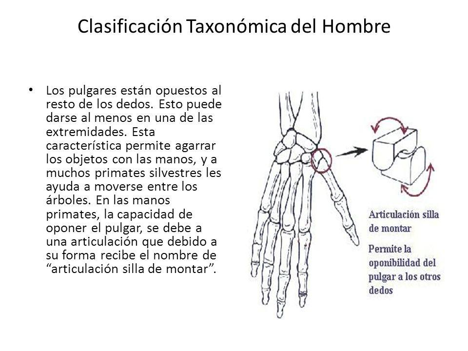 Clasificación Taxonómica del Hombre Los pulgares están opuestos al resto de los dedos.