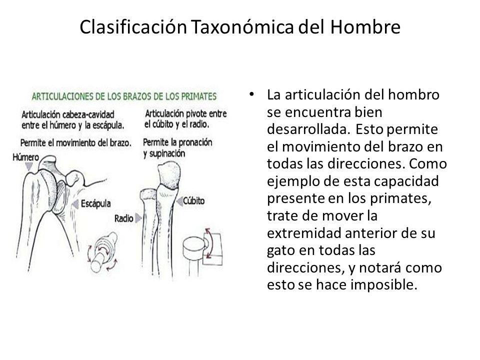 Clasificación Taxonómica del Hombre La articulación del hombro se encuentra bien desarrollada.