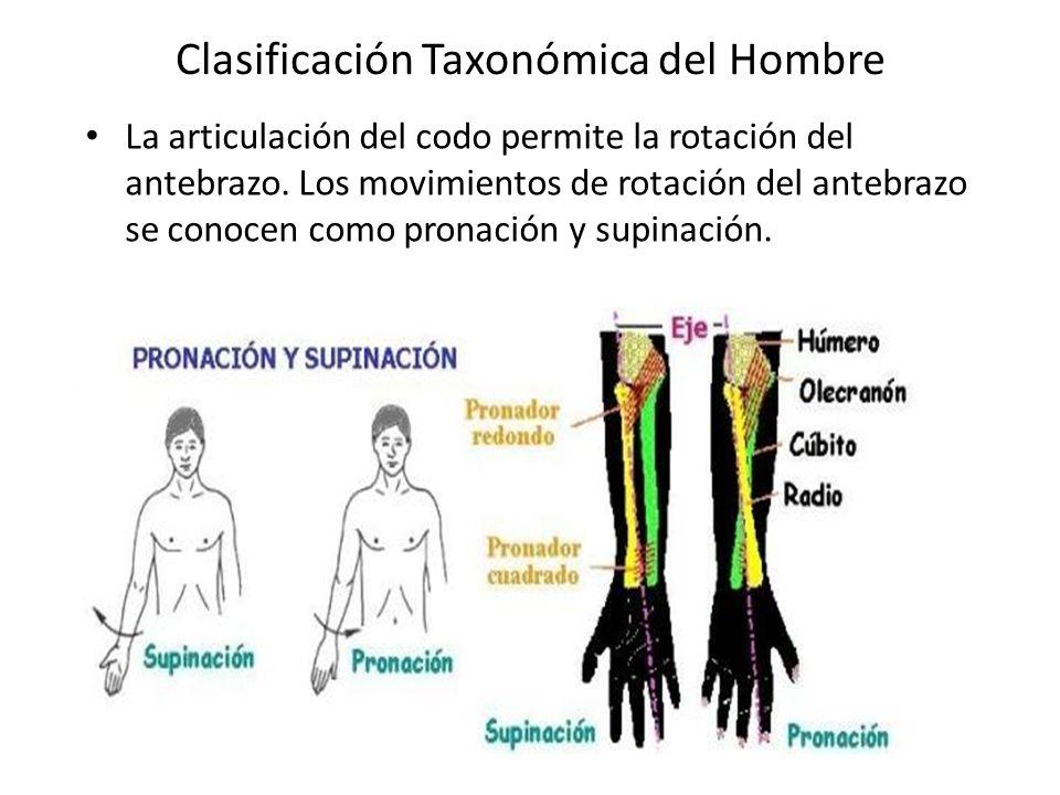Clasificación Taxonómica del Hombre La articulación del codo permite la rotación del antebrazo.