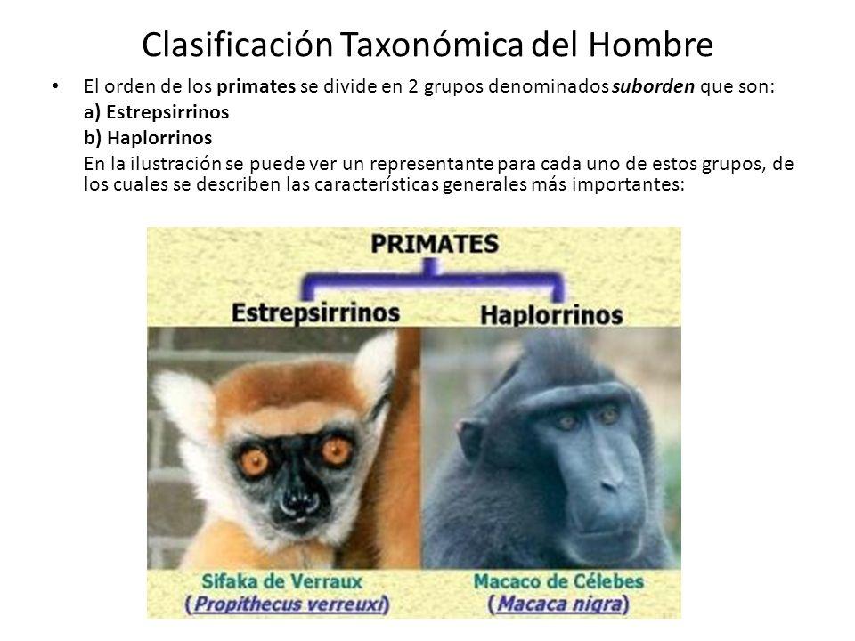Clasificación Taxonómica del Hombre El orden de los primates se divide en 2 grupos denominados suborden que son: a) Estrepsirrinos b) Haplorrinos En la ilustración se puede ver un representante para cada uno de estos grupos, de los cuales se describen las características generales más importantes: