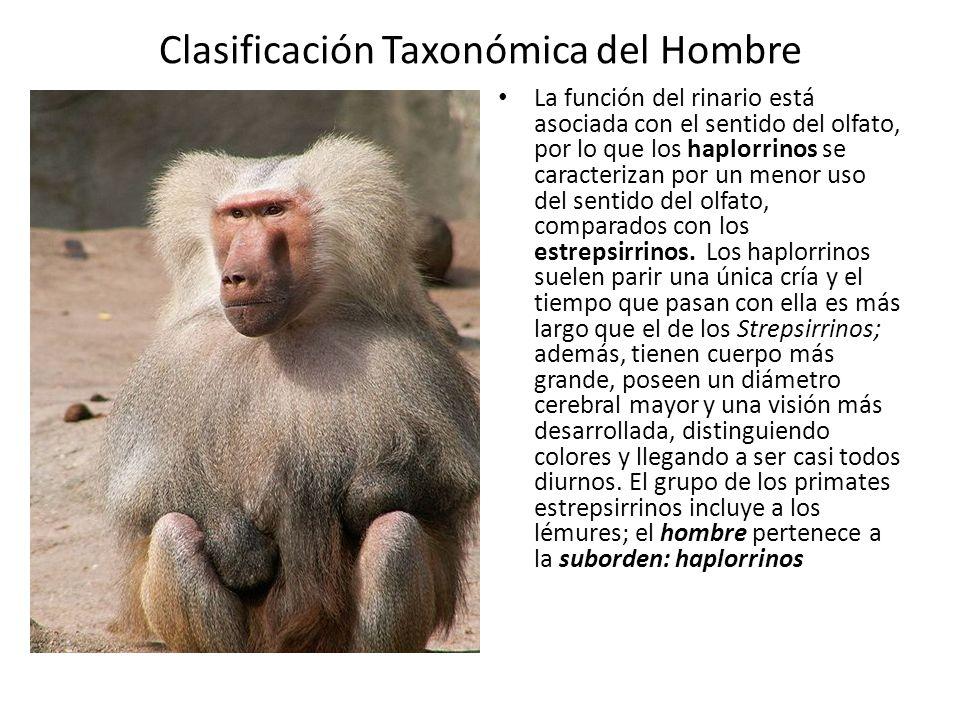 Clasificación Taxonómica del Hombre La función del rinario está asociada con el sentido del olfato, por lo que los haplorrinos se caracterizan por un menor uso del sentido del olfato, comparados con los estrepsirrinos.