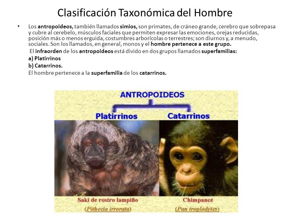 Clasificación Taxonómica del Hombre Los antropoideos, también llamados simios, son primates, de cráneo grande, cerebro que sobrepasa y cubre al cerebelo, músculos faciales que permiten expresar las emociones, orejas reducidas, posición más o menos erguida, costumbres arborícolas o terrestres; son diurnos y, a menudo, sociales.
