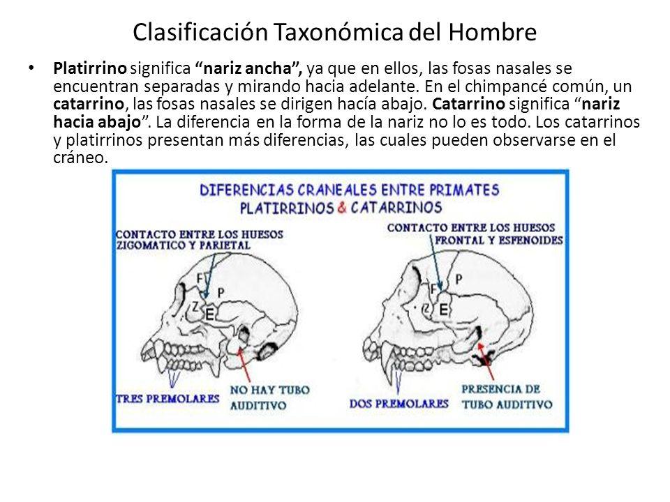 Clasificación Taxonómica del Hombre Platirrino significa nariz ancha, ya que en ellos, las fosas nasales se encuentran separadas y mirando hacia adelante.