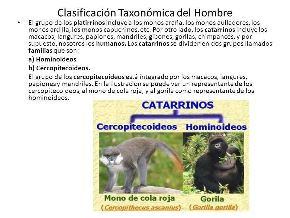 Clasificación Taxonómica del Hombre El grupo de los platirrinos incluye a los monos araña, los monos aulladores, los monos ardilla, los monos capuchinos, etc.