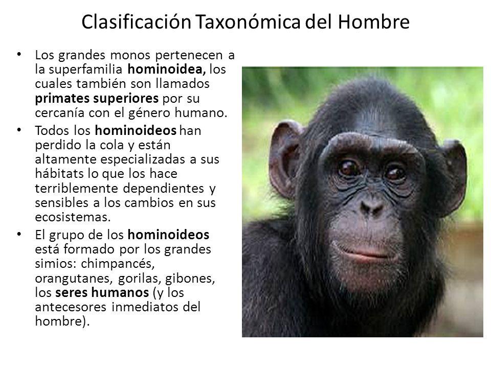 Clasificación Taxonómica del Hombre Los grandes monos pertenecen a la superfamilia hominoidea, los cuales también son llamados primates superiores por su cercanía con el género humano.