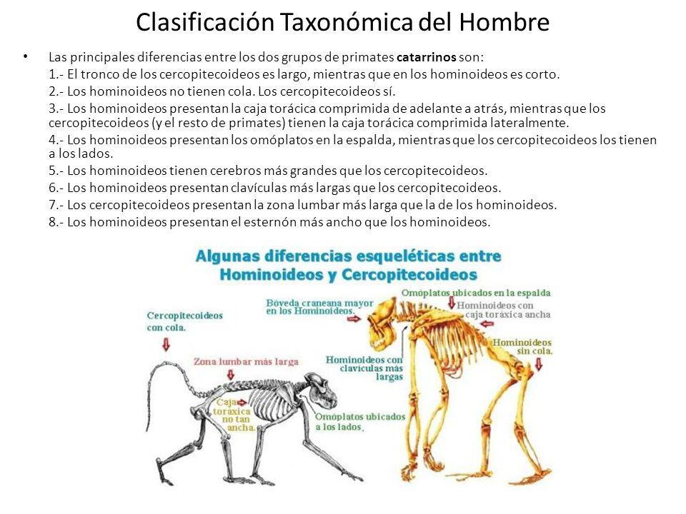 Clasificación Taxonómica del Hombre Las principales diferencias entre los dos grupos de primates catarrinos son: 1.- El tronco de los cercopitecoideos es largo, mientras que en los hominoideos es corto.