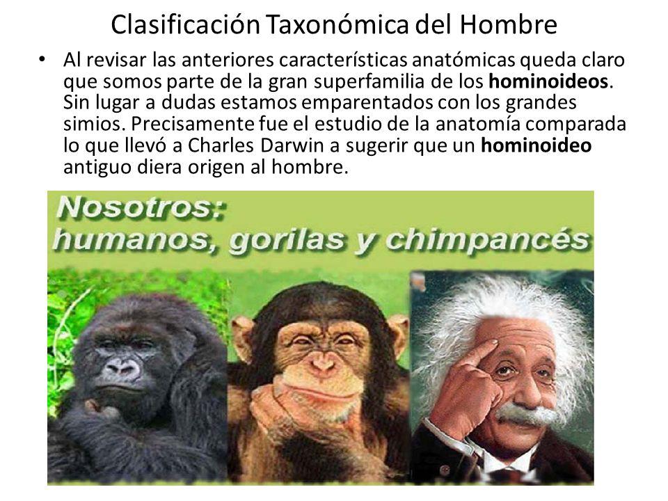 Clasificación Taxonómica del Hombre Al revisar las anteriores características anatómicas queda claro que somos parte de la gran superfamilia de los hominoideos.