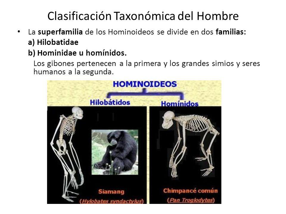 Clasificación Taxonómica del Hombre La superfamilia de los Hominoideos se divide en dos familias: a) Hilobatidae b) Hominidae u homínidos.
