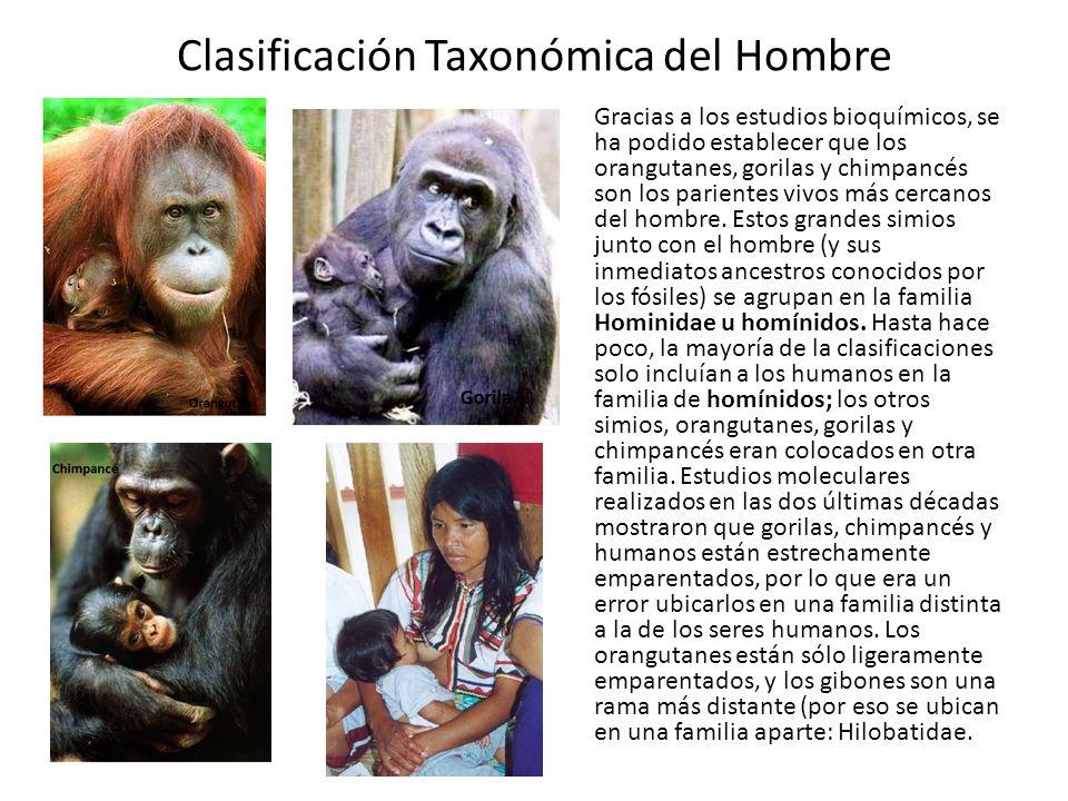 Clasificación Taxonómica del Hombre Gracias a los estudios bioquímicos, se ha podido establecer que los orangutanes, gorilas y chimpancés son los parientes vivos más cercanos del hombre.