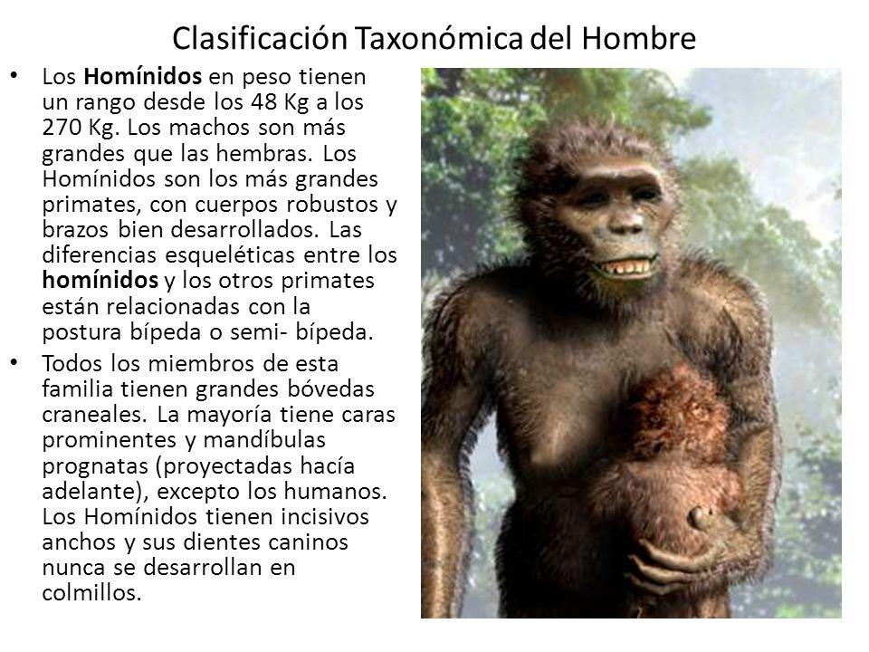 Clasificación Taxonómica del Hombre Los Homínidos en peso tienen un rango desde los 48 Kg a los 270 Kg.