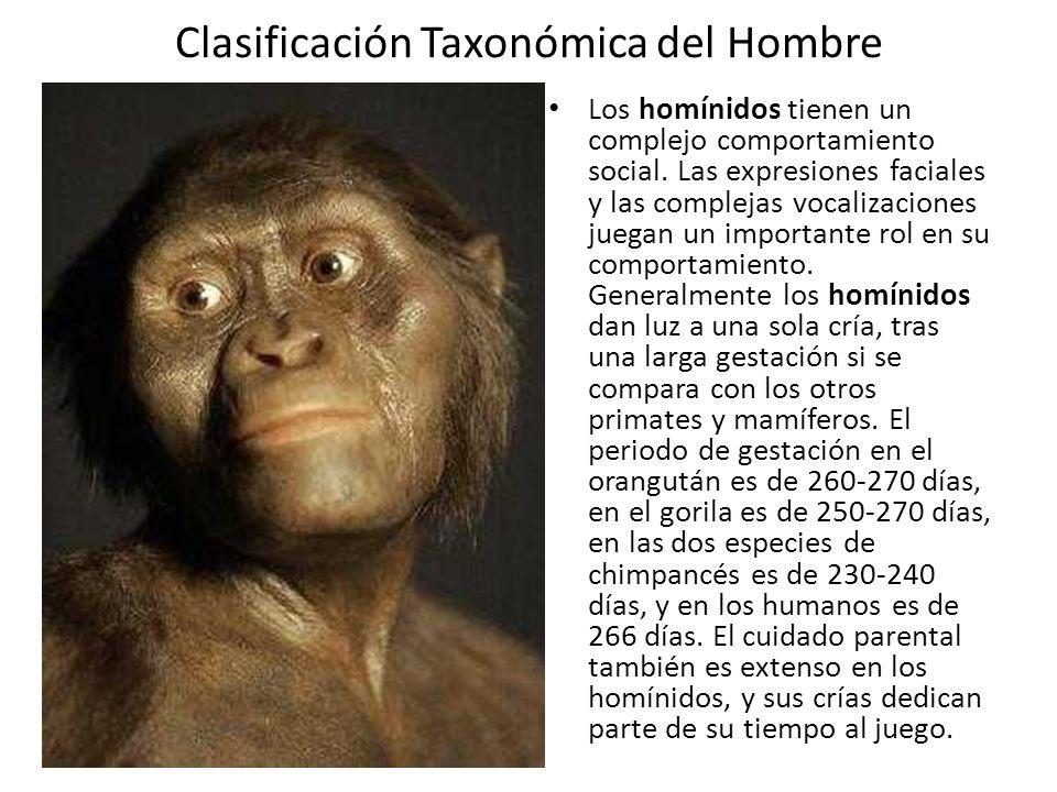 Clasificación Taxonómica del Hombre Los homínidos tienen un complejo comportamiento social.