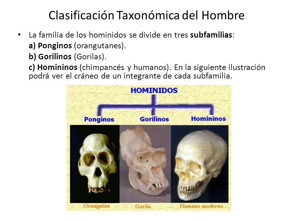 Clasificación Taxonómica del Hombre La familia de los homínidos se divide en tres subfamilias: a) Ponginos (orangutanes).