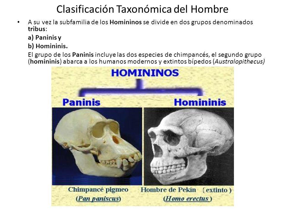 Clasificación Taxonómica del Hombre A su vez la subfamilia de los Homininos se divide en dos grupos denominados tribus: a) Paninis y b) Homininis.