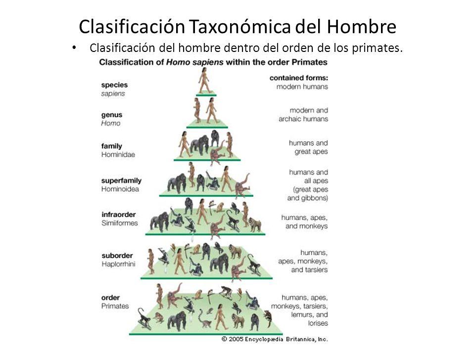 Clasificación Taxonómica del Hombre Clasificación del hombre dentro del orden de los primates.