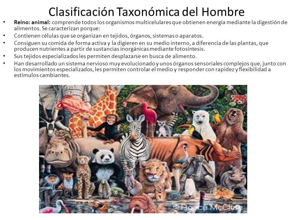 Clasificación Taxonómica del Hombre Reino: animal: comprende todos los organismos multicelulares que obtienen energía mediante la digestión de alimentos.