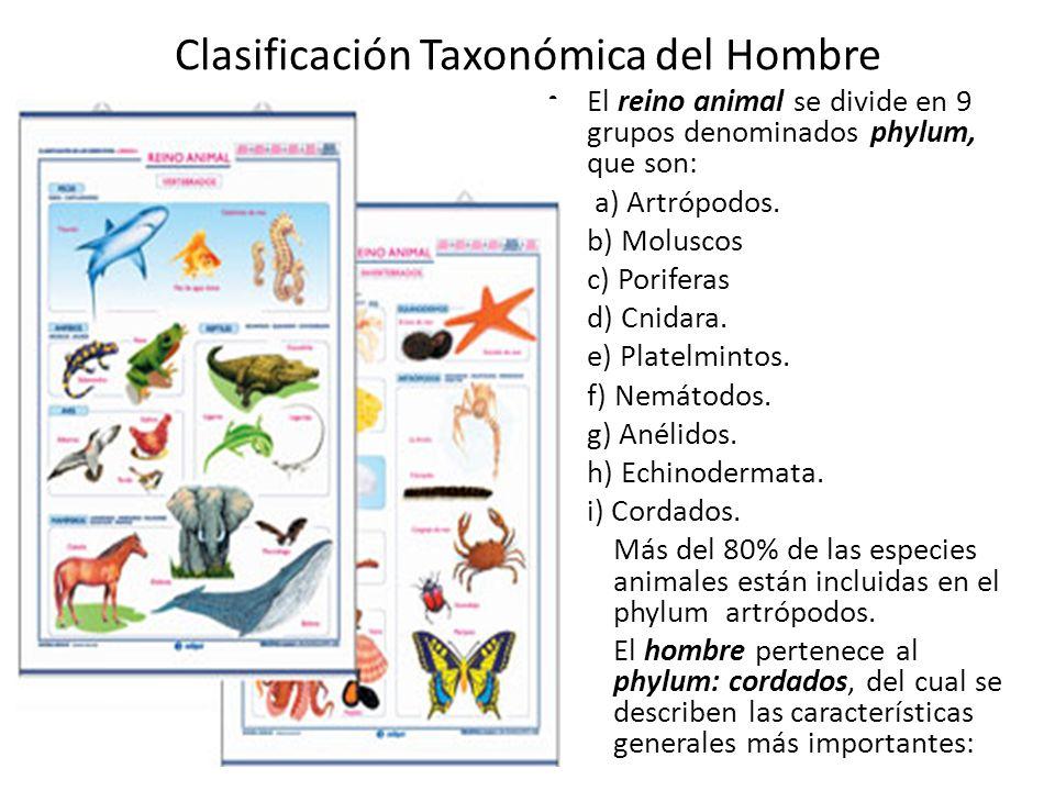 Clasificación Taxonómica del Hombre El reino animal se divide en 9 grupos denominados phylum, que son: a) Artrópodos.