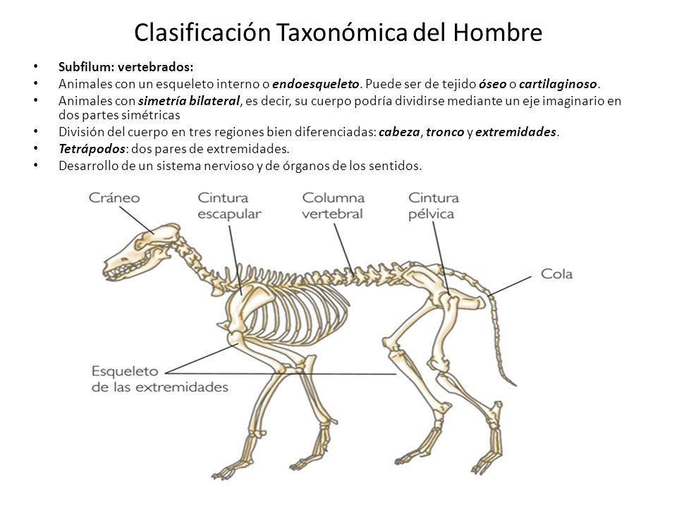 Clasificación Taxonómica del Hombre Subfilum: vertebrados: Animales con un esqueleto interno o endoesqueleto.