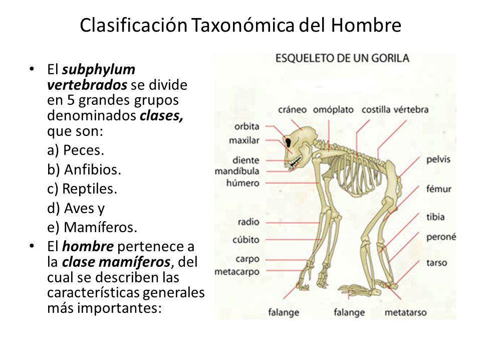 Clasificación Taxonómica del Hombre El subphylum vertebrados se divide en 5 grandes grupos denominados clases, que son: a) Peces.