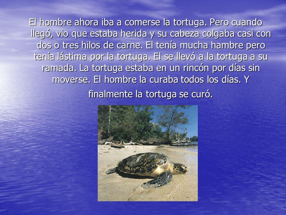 El hombre ahora iba a comerse la tortuga. Pero cuando llegó, vio que estaba herida y su cabeza colgaba casi con dos o tres hilos de carne. El tenía mu