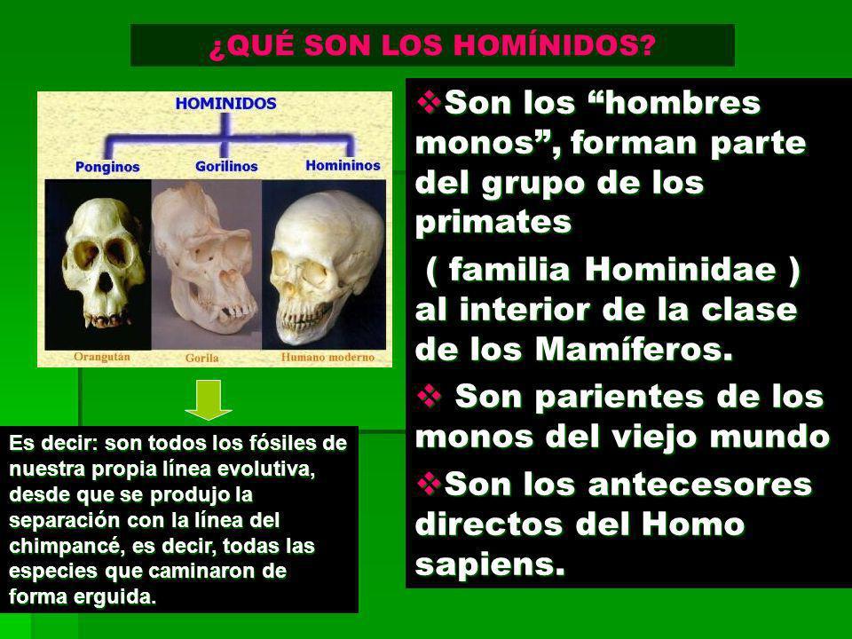 Son los hombres monos, forman parte del grupo de los primates Son los hombres monos, forman parte del grupo de los primates ( familia Hominidae ) al i