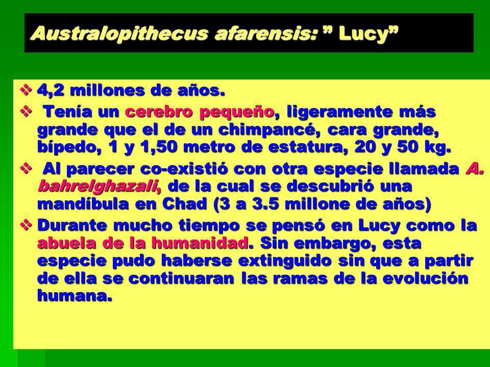 Australopithecus afarensis: Lucy 4,2 millones de años. 4,2 millones de años. Tenía un cerebro pequeño, ligeramente más grande que el de un chimpancé,