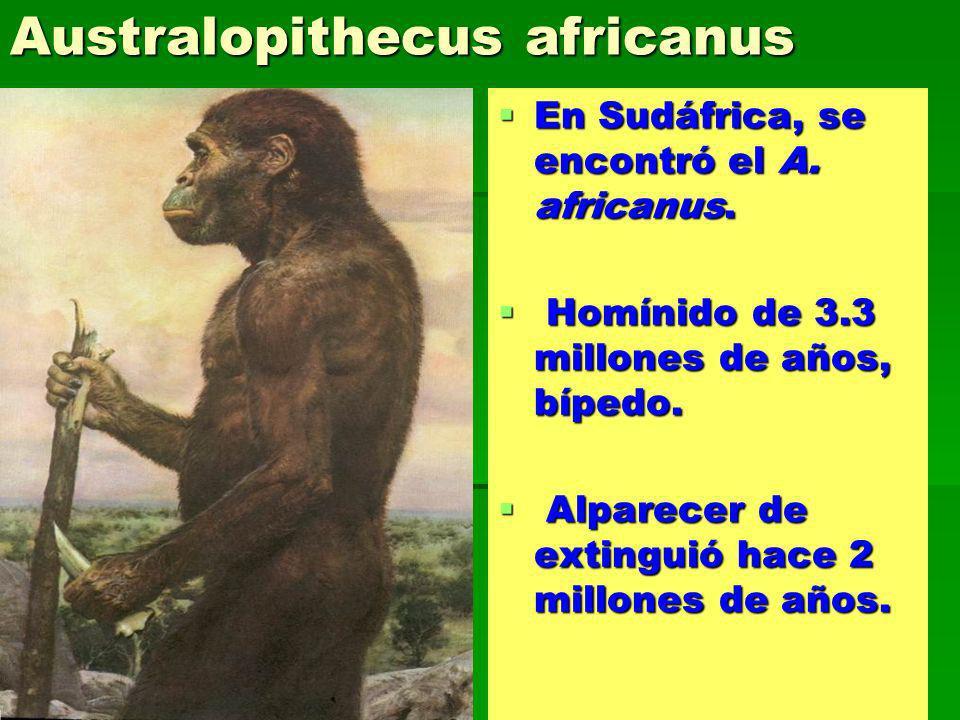 Australopithecus africanus En Sudáfrica, se encontró el A. africanus. En Sudáfrica, se encontró el A. africanus. Homínido de 3.3 millones de años, bíp
