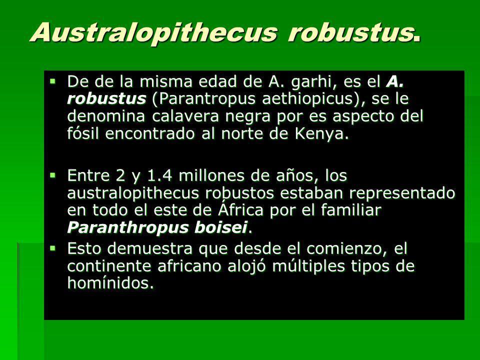 Australopithecus robustus. De de la misma edad de A. garhi, es el A. robustus (Parantropus aethiopicus), se le denomina calavera negra por es aspecto