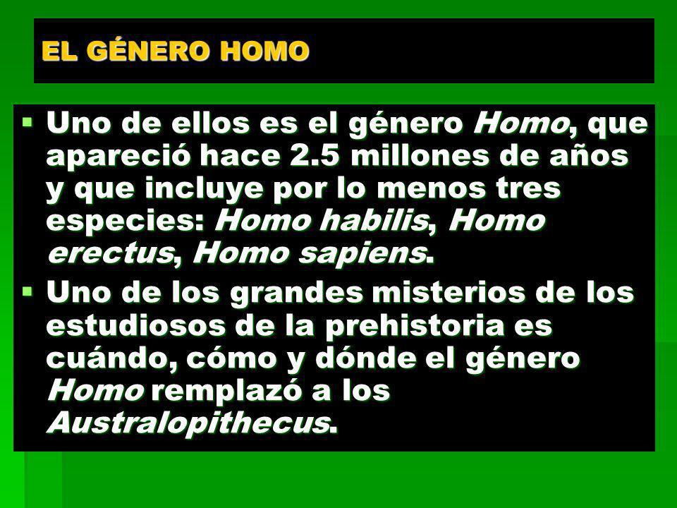 EL GÉNERO HOMO Uno de ellos es el género Homo, que apareció hace 2.5 millones de años y que incluye por lo menos tres especies: Homo habilis, Homo ere