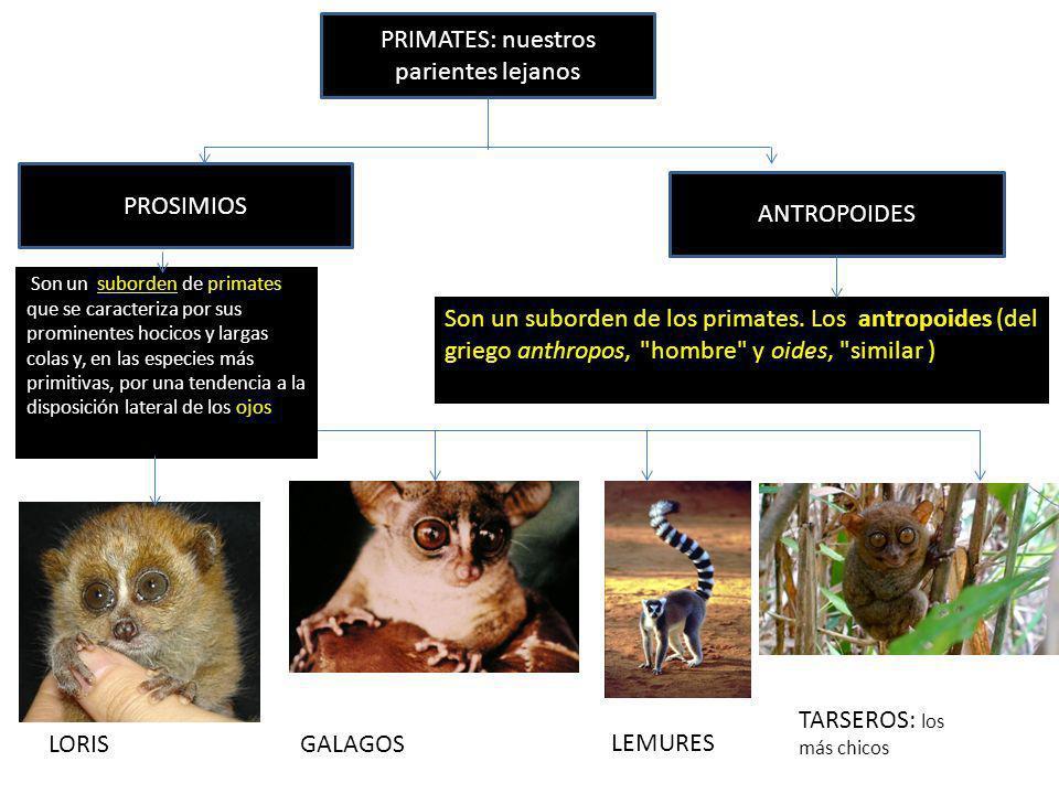 PRIMATES: nuestros parientes lejanos PROSIMIOS ANTROPOIDES LORISGALAGOS LEMURES TARSEROS: los más chicos Son un suborden de primates que se caracteriz