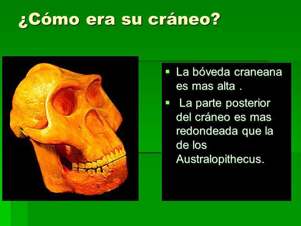 ¿Cómo era su cráneo? La bóveda craneana es mas alta. La bóveda craneana es mas alta. La parte posterior del cráneo es mas redondeada que la de los Aus