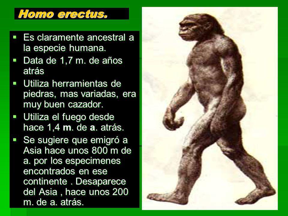 Homo erectus. Es claramente ancestral a la especie humana. Es claramente ancestral a la especie humana. Data de 1,7 m. de años atrás Data de 1,7 m. de
