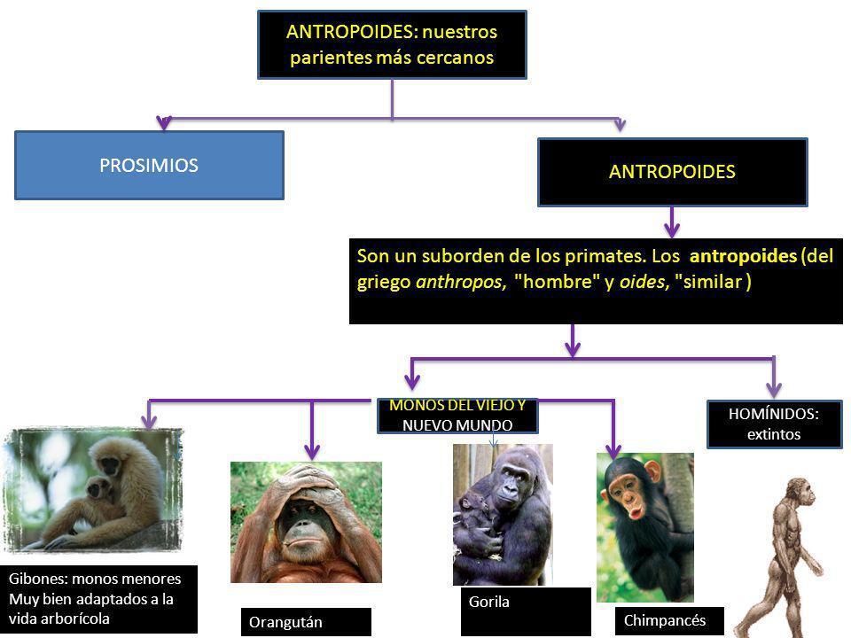 ANTROPOIDES: nuestros parientes más cercanos PROSIMIOS ANTROPOIDES Son un suborden de los primates. Los antropoides (del griego anthropos,