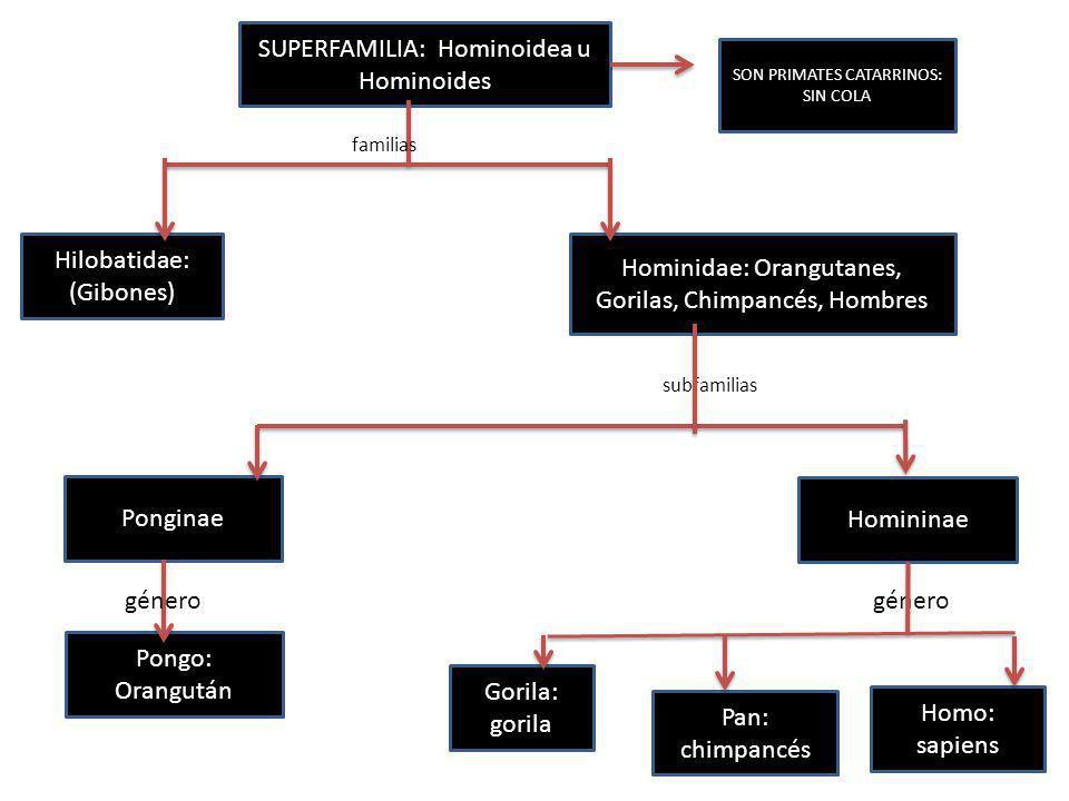 SUPERFAMILIA: Hominoidea u Hominoides SON PRIMATES CATARRINOS: SIN COLA Hilobatidae: (Gibones) Ponginae Hominidae: Orangutanes, Gorilas, Chimpancés, H