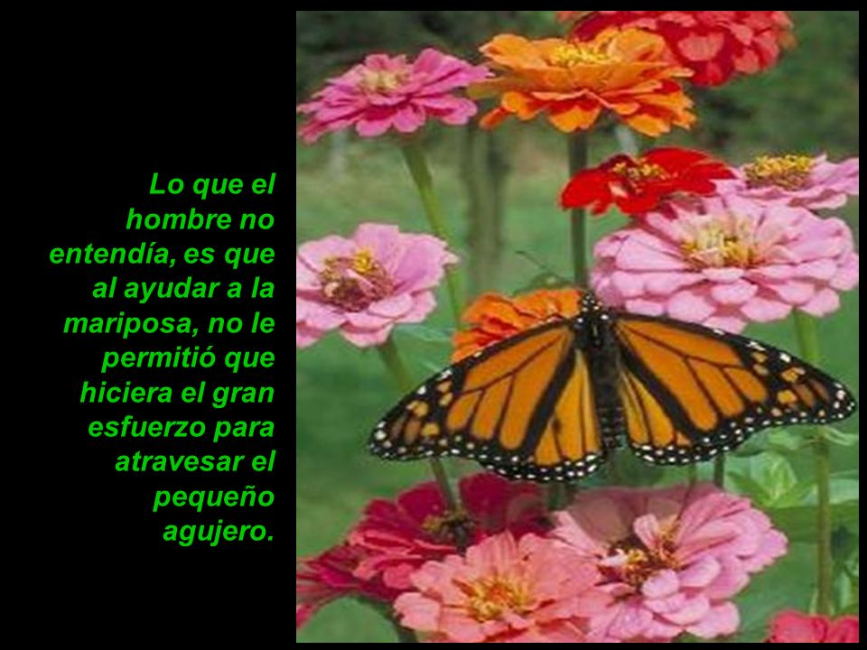 Pero nada de esto sucedió. La verdad es que la mariposa pasó toda su vida arrastrándose por el suelo. Fue incapaz de elevar el vuelo.