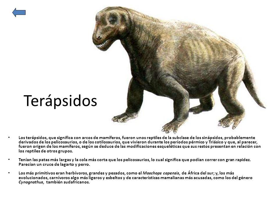Terápsidos Los terápsidos, que significa con arcos de mamíferos, fueron unos reptiles de la subclase de los sinápsidos, probablemente derivados de los