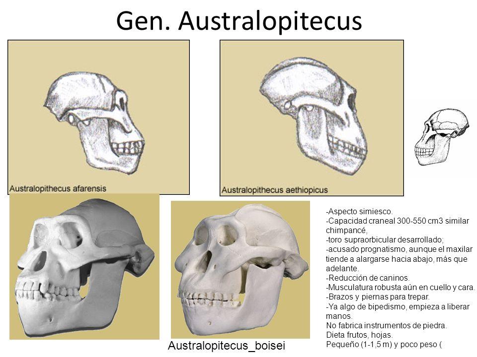 Australopitecus_boisei Gen. Australopitecus -Aspecto simiesco. -Capacidad craneal 300-550 cm3 similar chimpancé, -toro supraorbicular desarrollado; -a