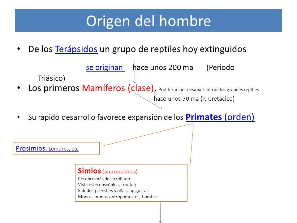 Origen del hombre De los Terápsidos un grupo de reptiles hoy extinguidosTerápsidos se originan hace unos 200 ma (Periodo Triásico) se originan Los pri