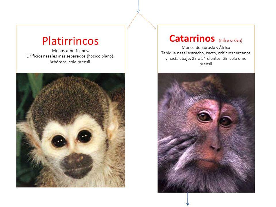 Platirrincos Monos americanos. Orificios nasales más separados (hocico plano). Arbóreos, cola prensil. Catarrinos (infra orden) Monos de Eurasia y Áfr