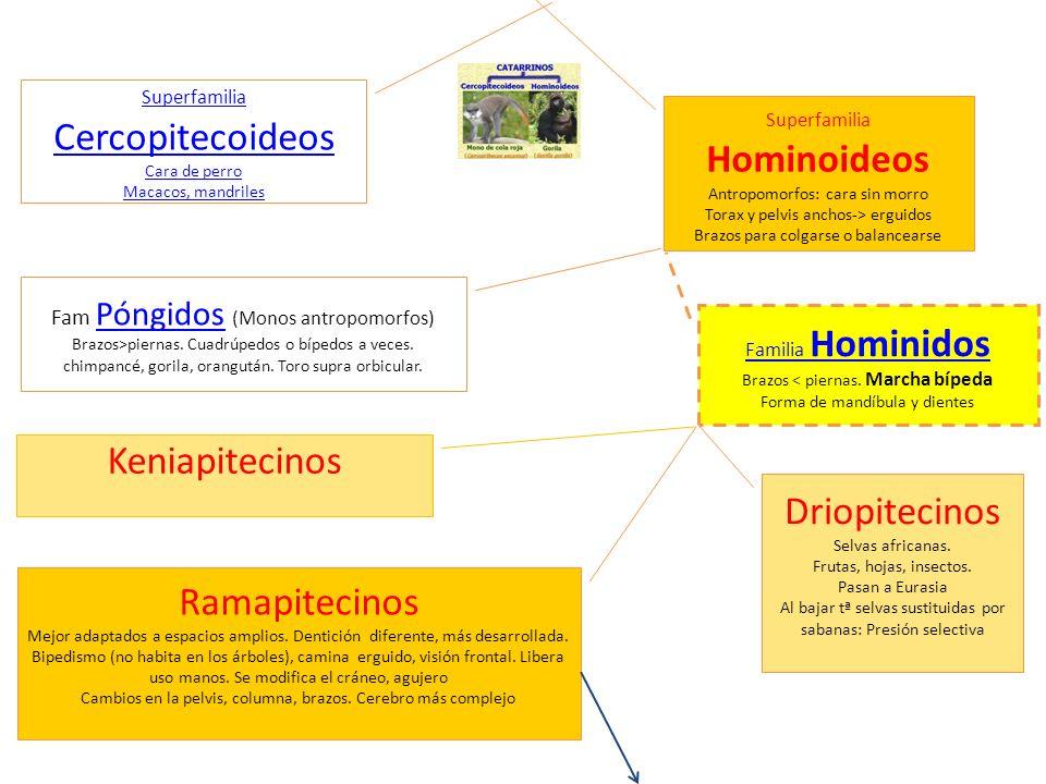 Superfamilia Hominoideos Antropomorfos: cara sin morro Torax y pelvis anchos-> erguidos Brazos para colgarse o balancearse Superfamilia Cercopitecoide