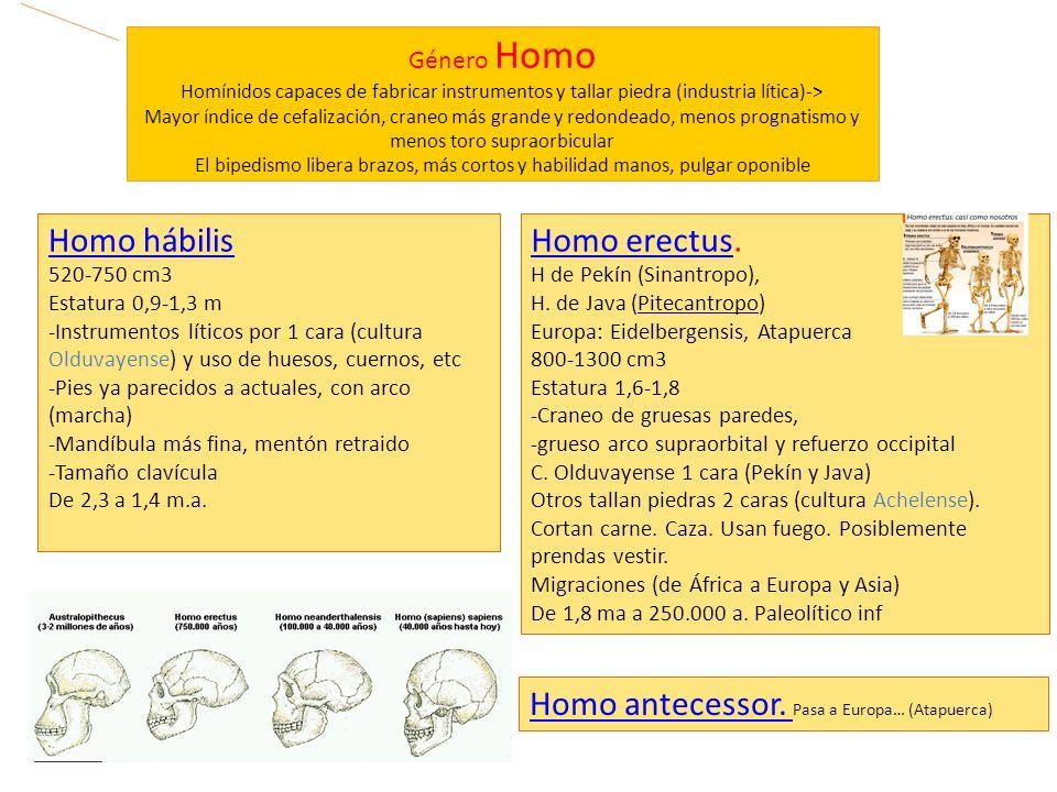 Género Homo Homínidos capaces de fabricar instrumentos y tallar piedra (industria lítica)-> Mayor índice de cefalización, craneo más grande y redondea