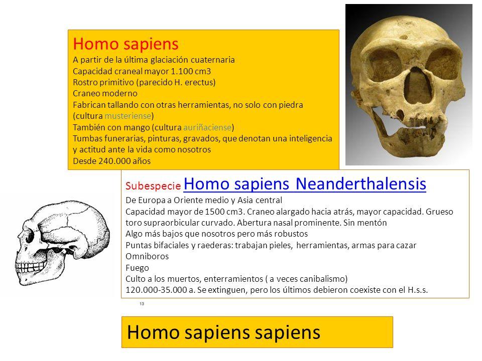 Homo sapiens A partir de la última glaciación cuaternaria Capacidad craneal mayor 1.100 cm3 Rostro primitivo (parecido H. erectus) Craneo moderno Fabr