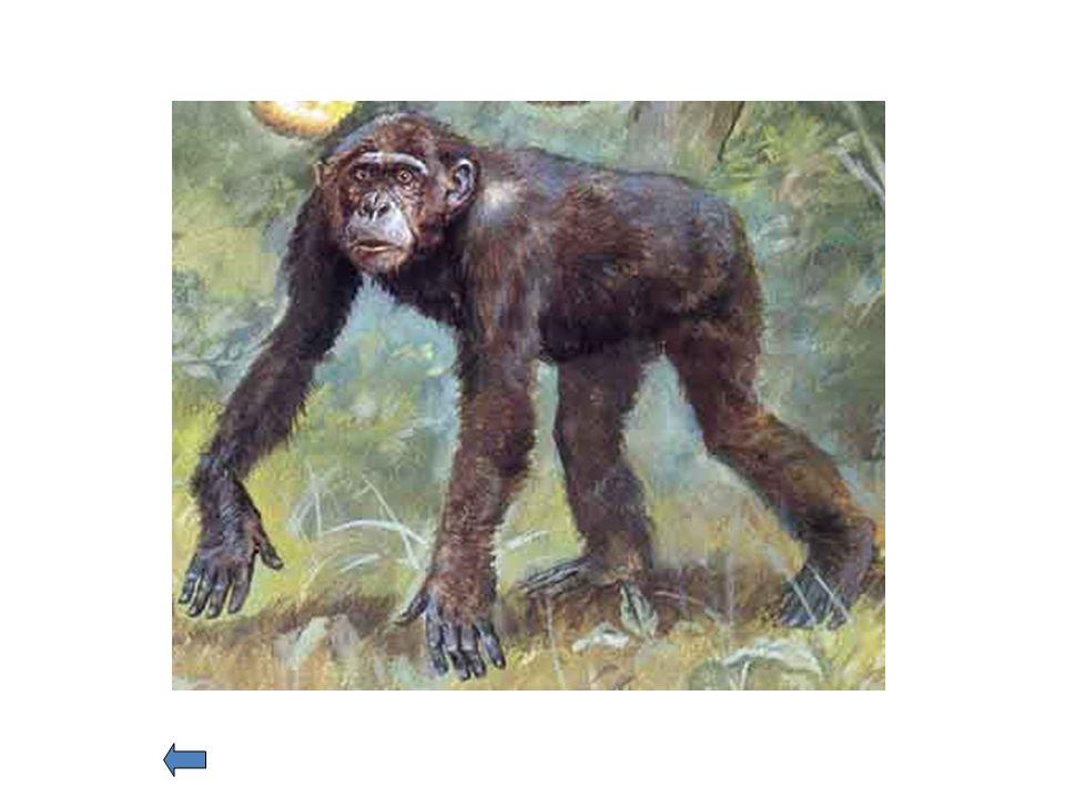 Primates Les distinguen de los demás mamíferos: Vista estereoscópica; ojos delante, no a los lados Extremidades con 5 dedos prensiles, pulgar oponible; uñas en vez de garras.