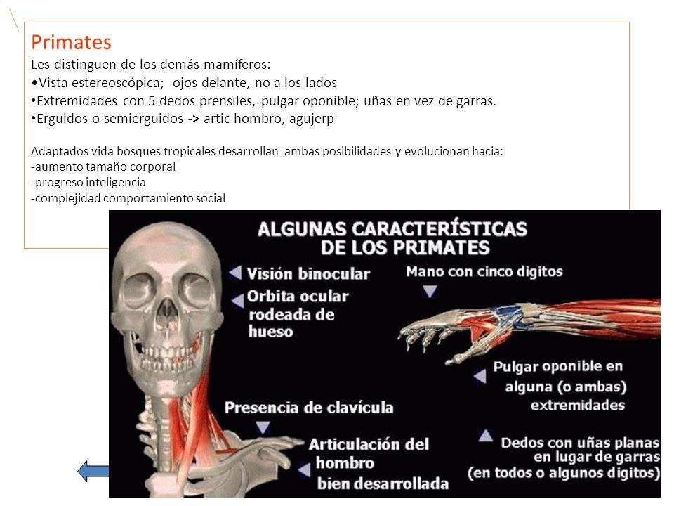 Primates Les distinguen de los demás mamíferos: Vista estereoscópica; ojos delante, no a los lados Extremidades con 5 dedos prensiles, pulgar oponible