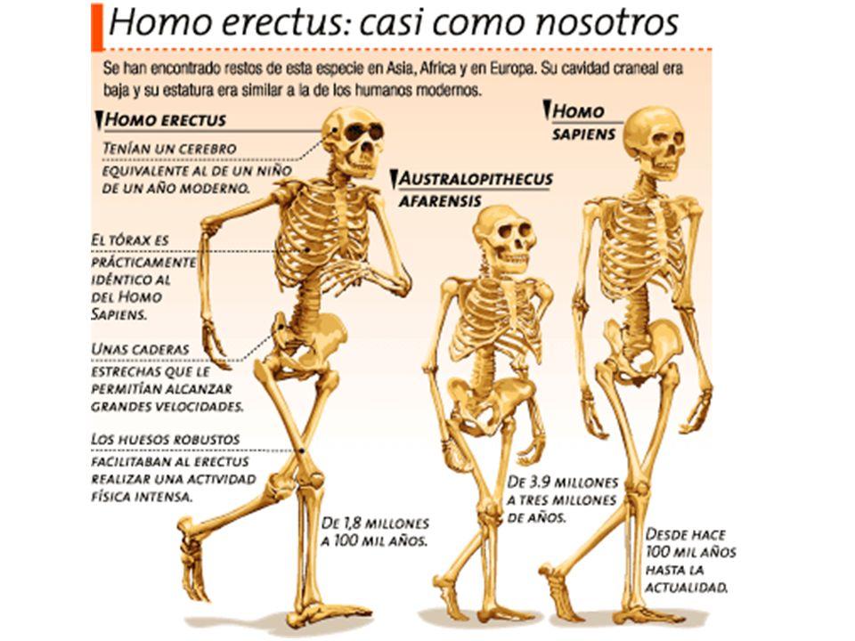 Homo sapiens A partir de la última glaciación cuaternaria Capacidad craneal mayor 1.100 cm3 Rostro primitivo (parecido H.