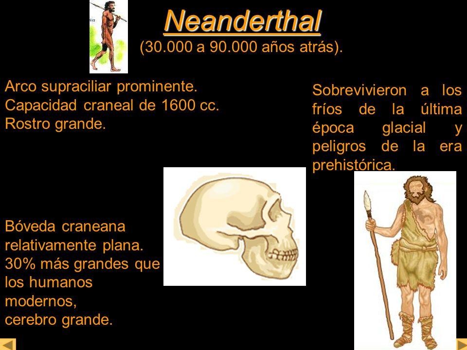 Neanderthal Neanderthal (30.000 a 90.000 años atrás). Arco supraciliar prominente. Capacidad craneal de 1600 cc. Rostro grande. Sobrevivieron a los fr