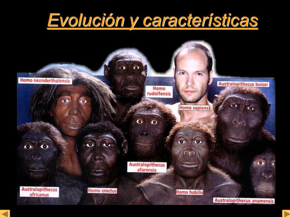 Australopithecus Australopithecus (más antiguo 4.500.000 de años) Homínidos antiguos más cercanos al género de los homo.