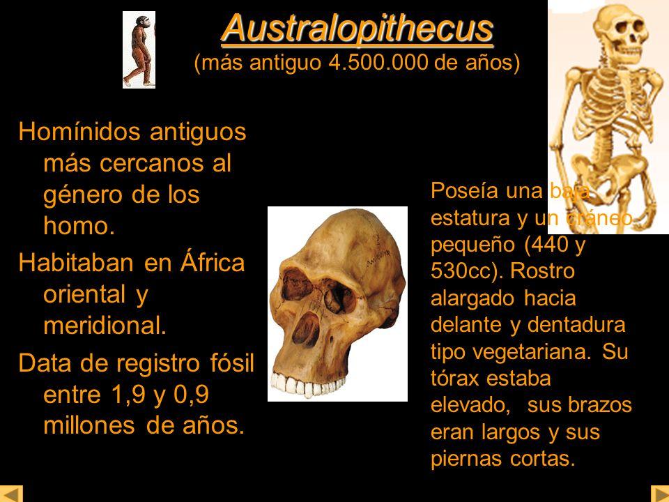 Australopithecus Australopithecus (más antiguo 4.500.000 de años) Homínidos antiguos más cercanos al género de los homo. Habitaban en África oriental